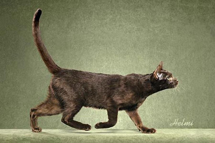 Порода кошек гавана браун