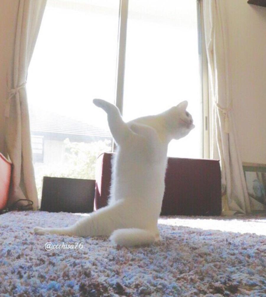 Кот гимнаст