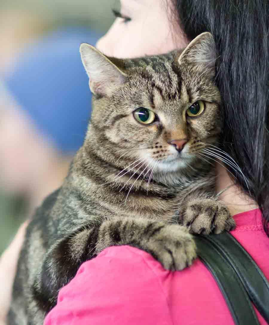 Кот кельтской породы