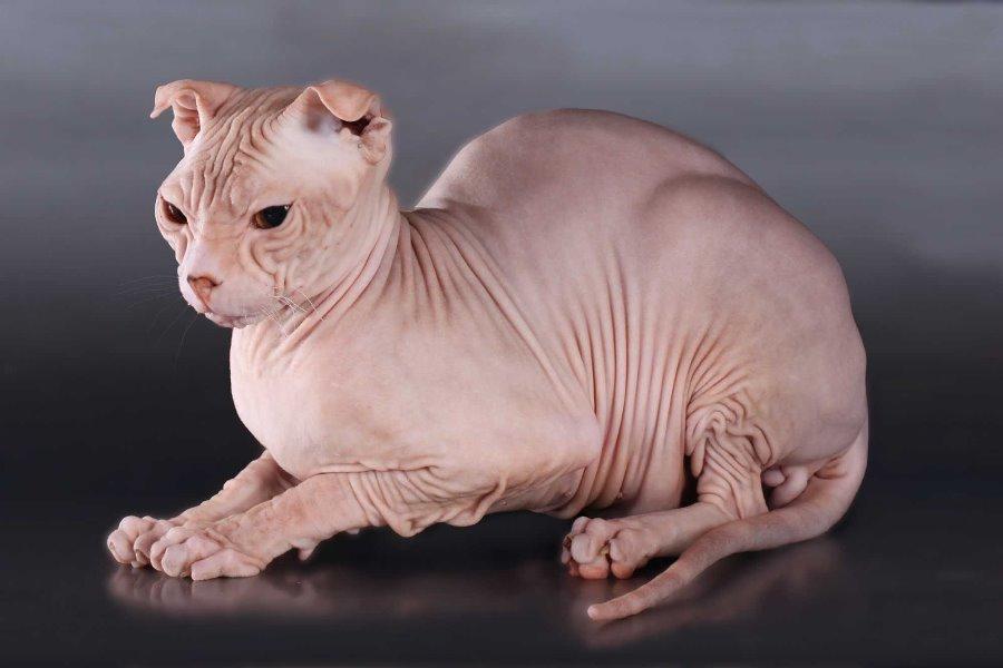 Кот левкой - фото
