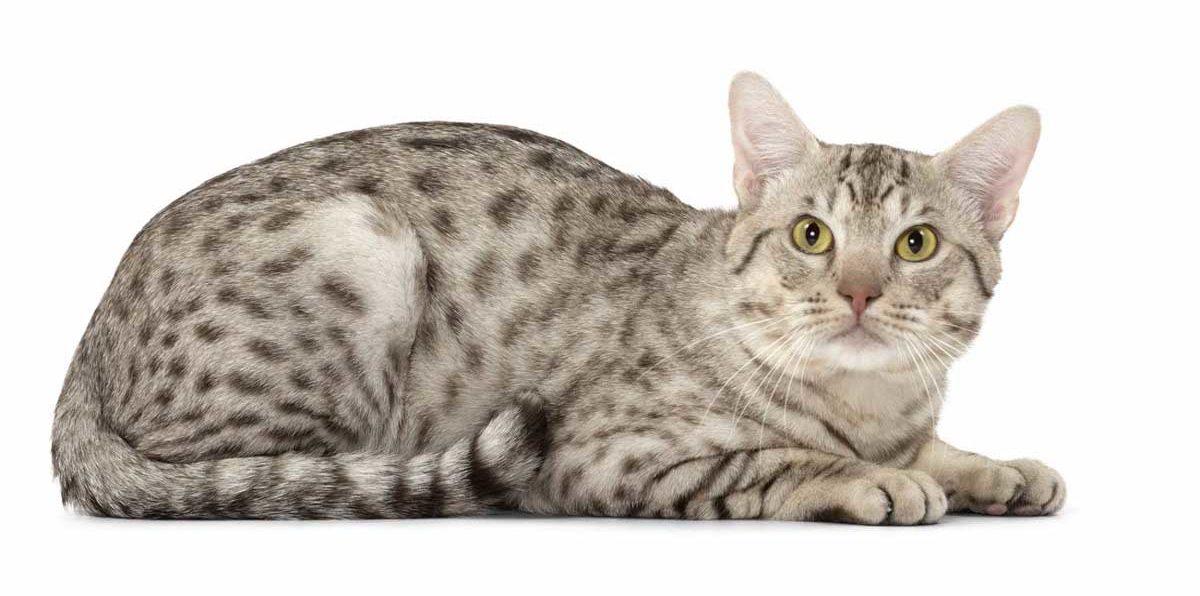 Кот оцикет: фото