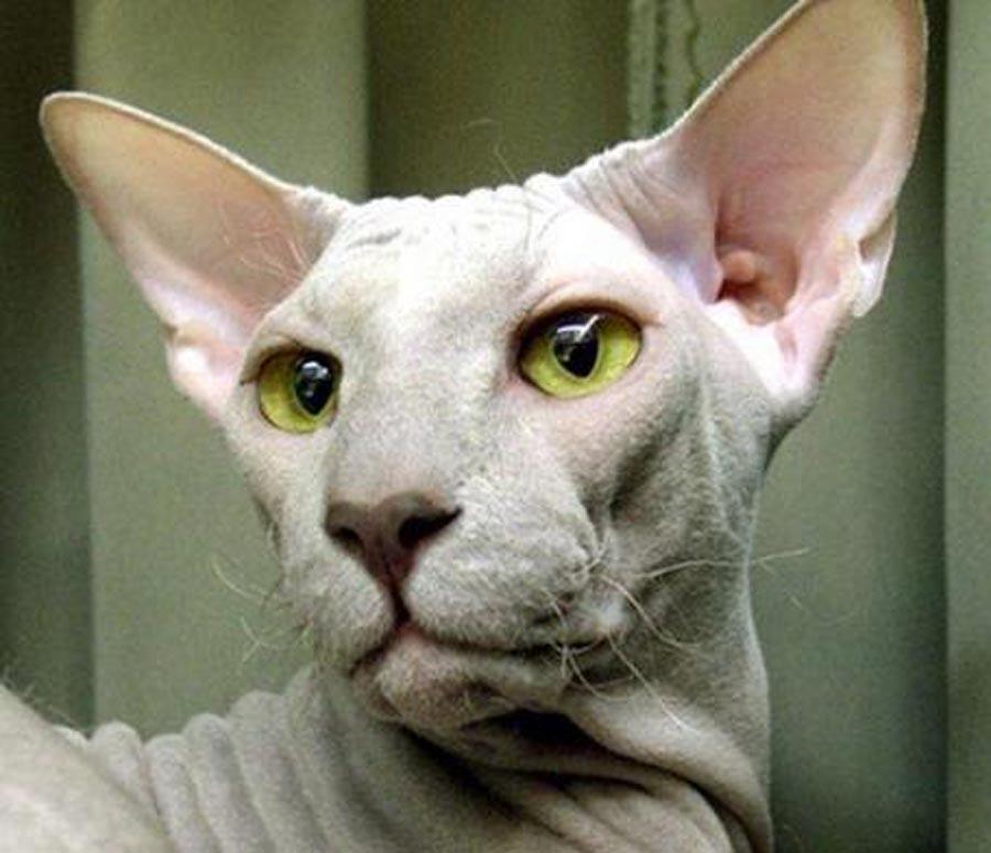 Кот породы петерболд