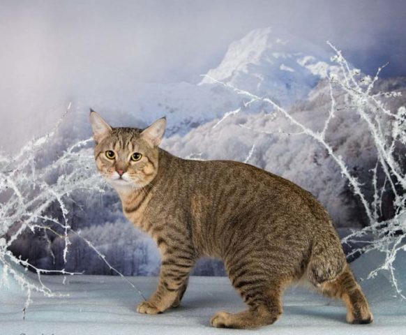 Фото кота пикси-боб