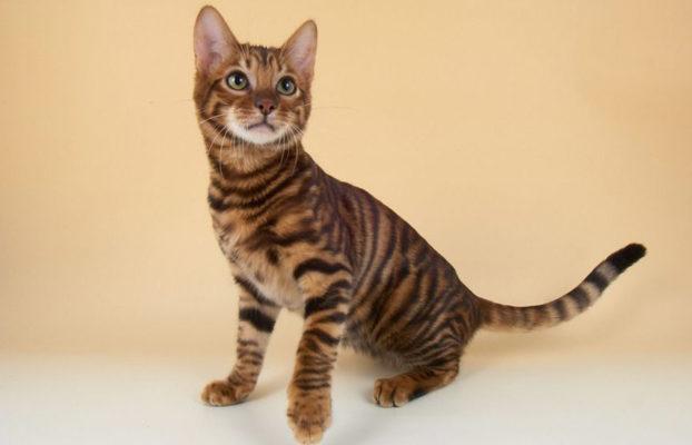 Кот породы тойгер: фото