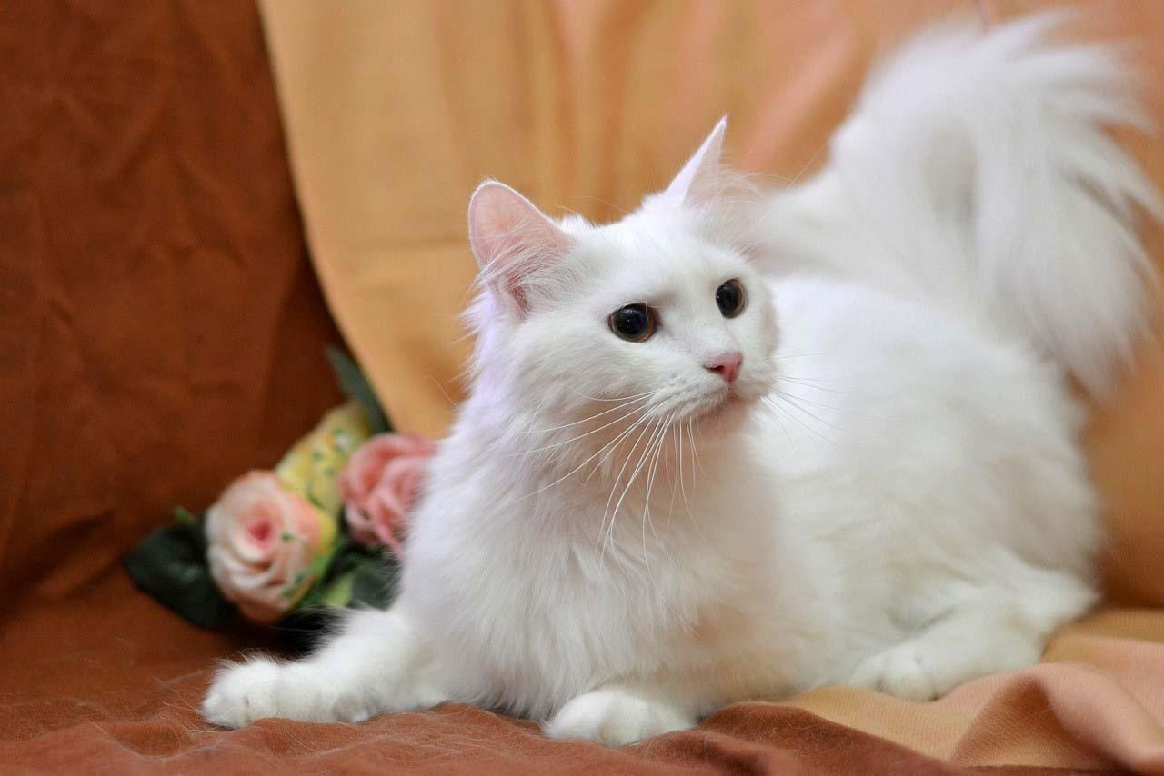 Кот породы турецкая ангора: фото