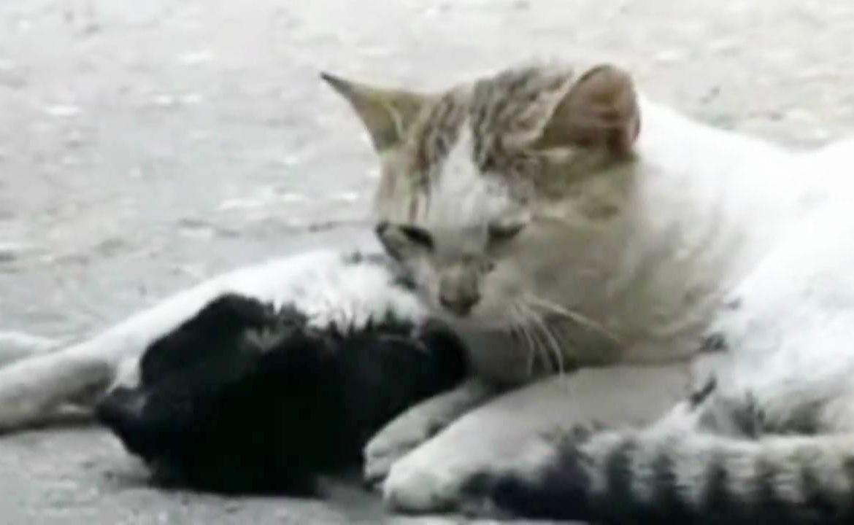 Кошачья скорбь: кот пытается оживить кошку