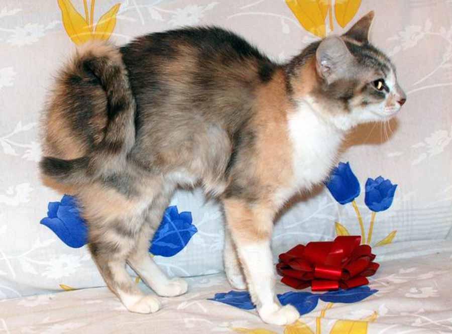 Кот с закрученным хвостом