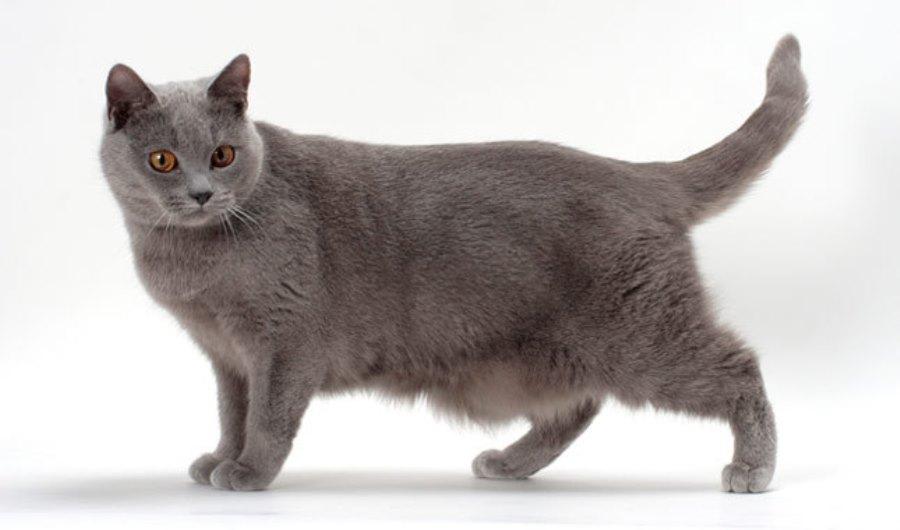 Кот шартрез - фото