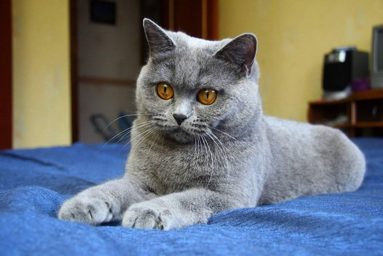 Кот шартрез