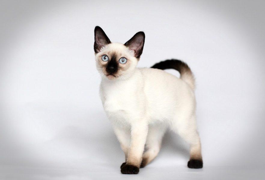 Кот тайской породы: фото