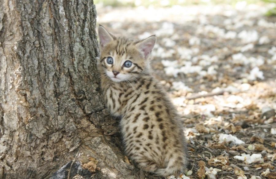Котенок породы ашера