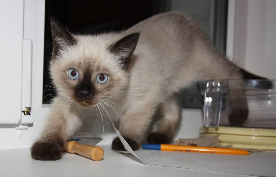 Котенок тайской породы