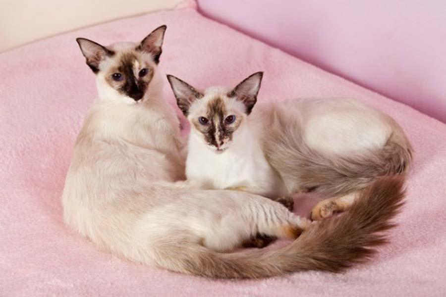 Коты балинезийской породы