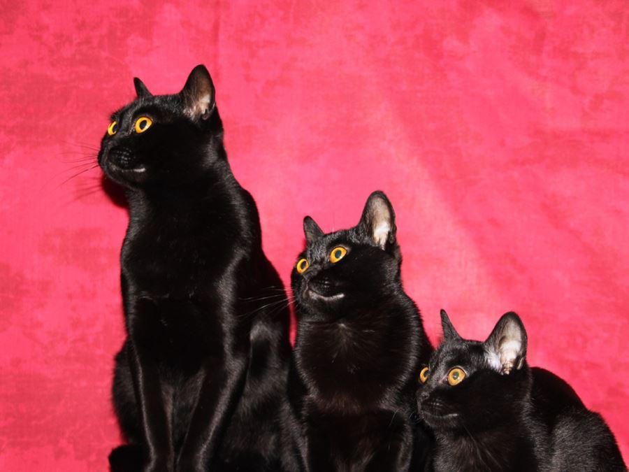 Коты бомбейской породы: фото