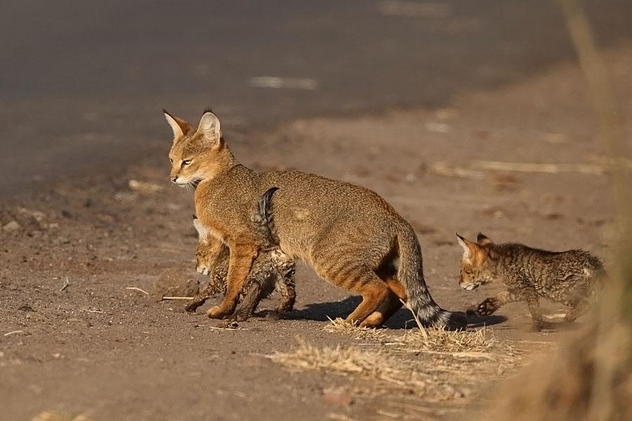 Коты камышовой породы: фото