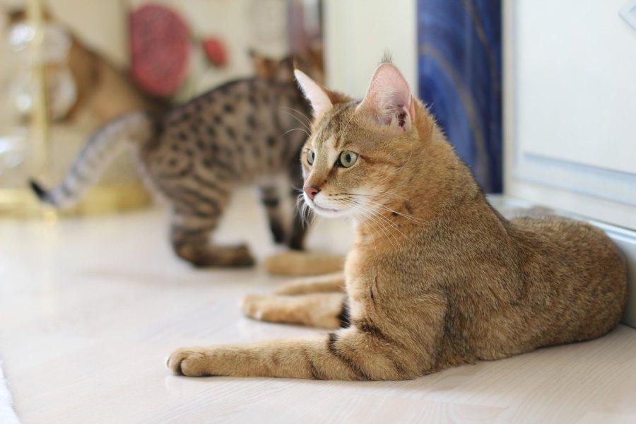 Коты породы чаузи