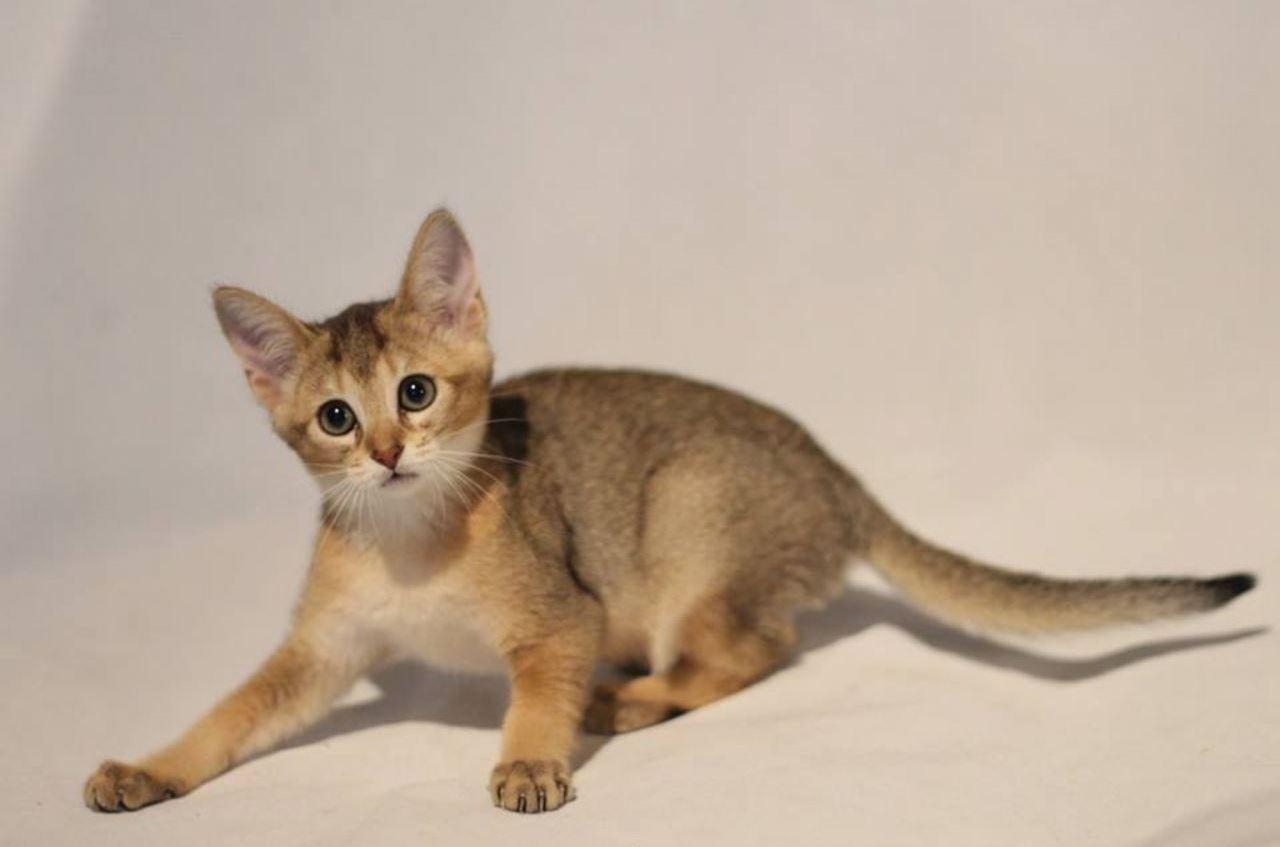 Котята чаузи: фото