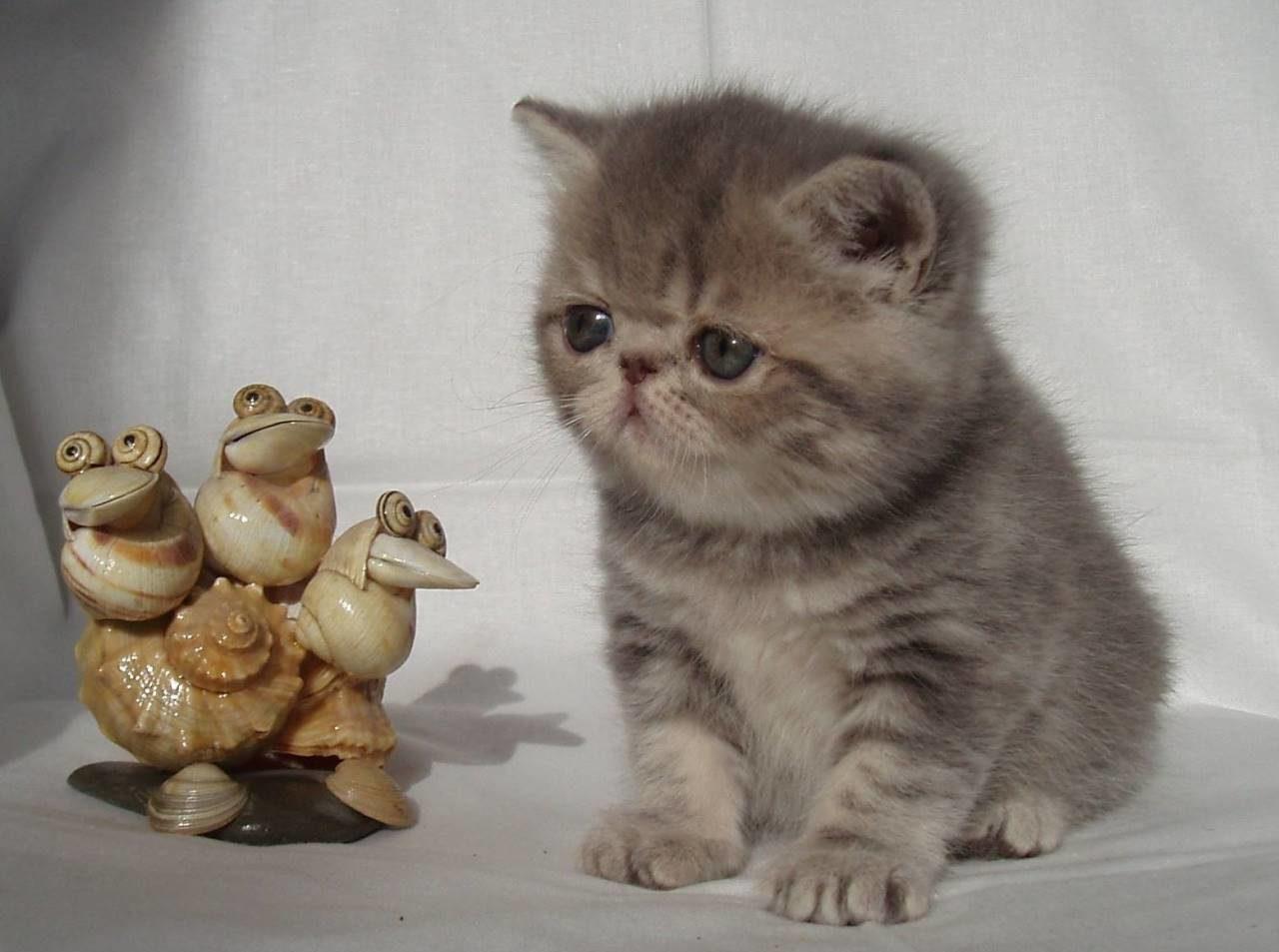 Котята породы: экзотическая короткошерстная