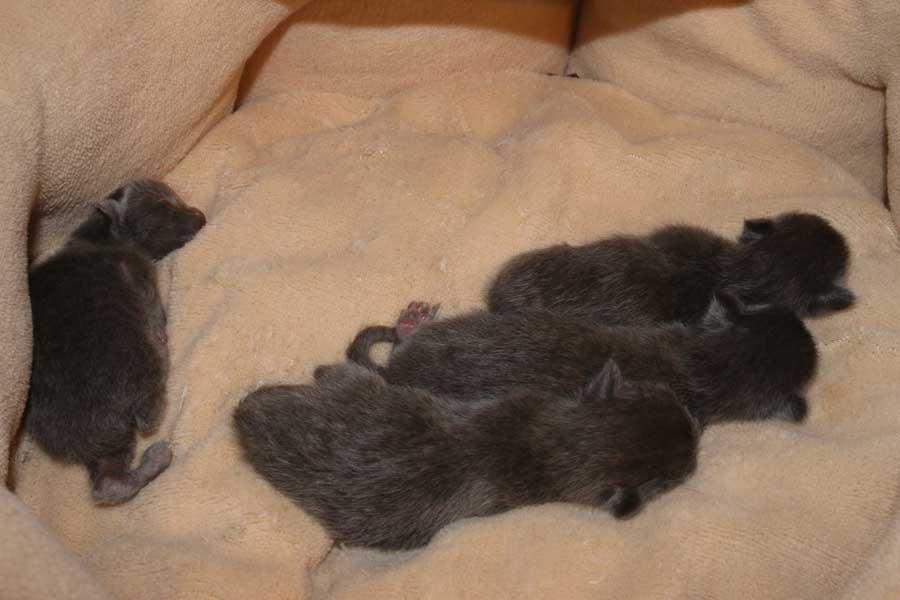 Котята породы корат: фото