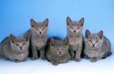 Котята породы шартрез фото