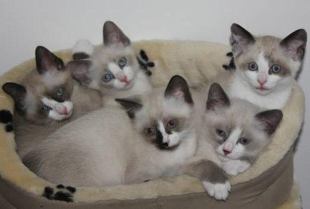 Котята сноу шу: фото