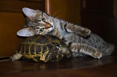 Котёнок и черепаха: видео