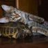 Котёнок и черепаха: первая встреча на видео