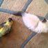 Видео: котёнок и попугай, или всё зло от головы!