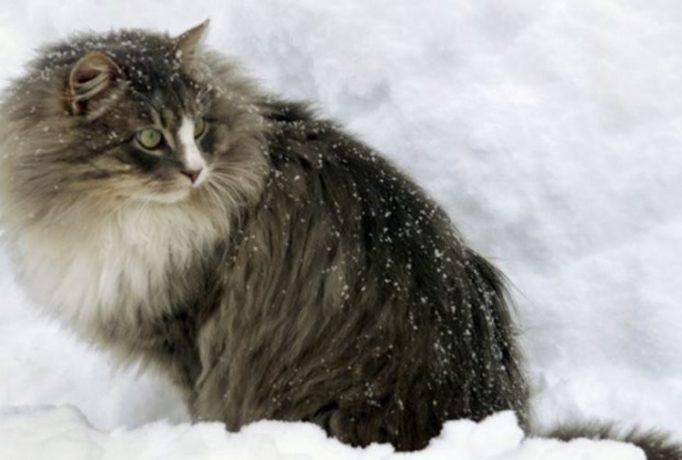 Красивые фото с кошками на снегу