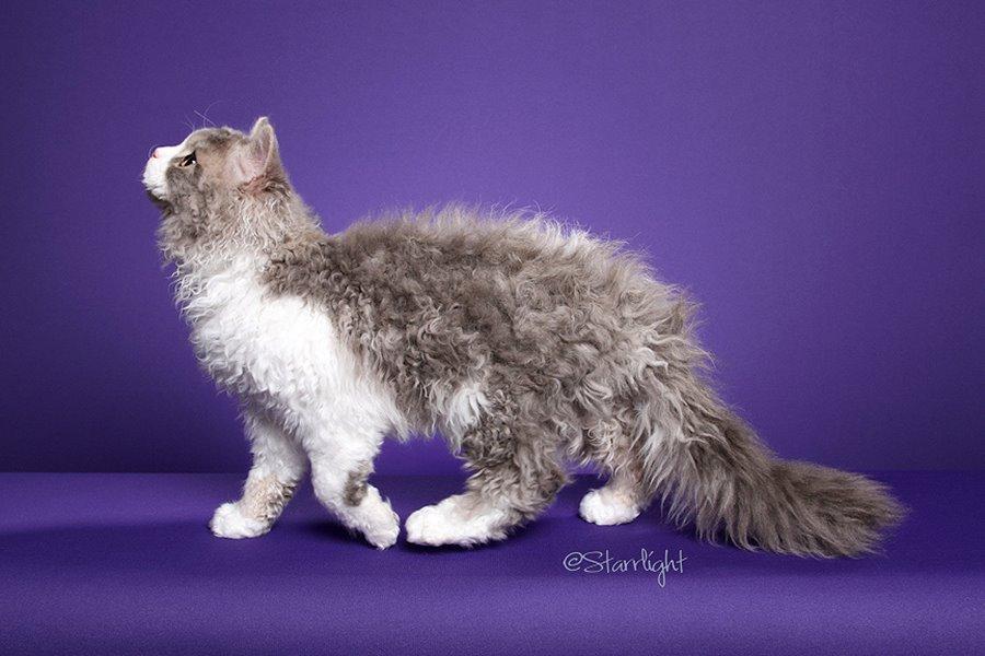 Кудрявые кошки: фото