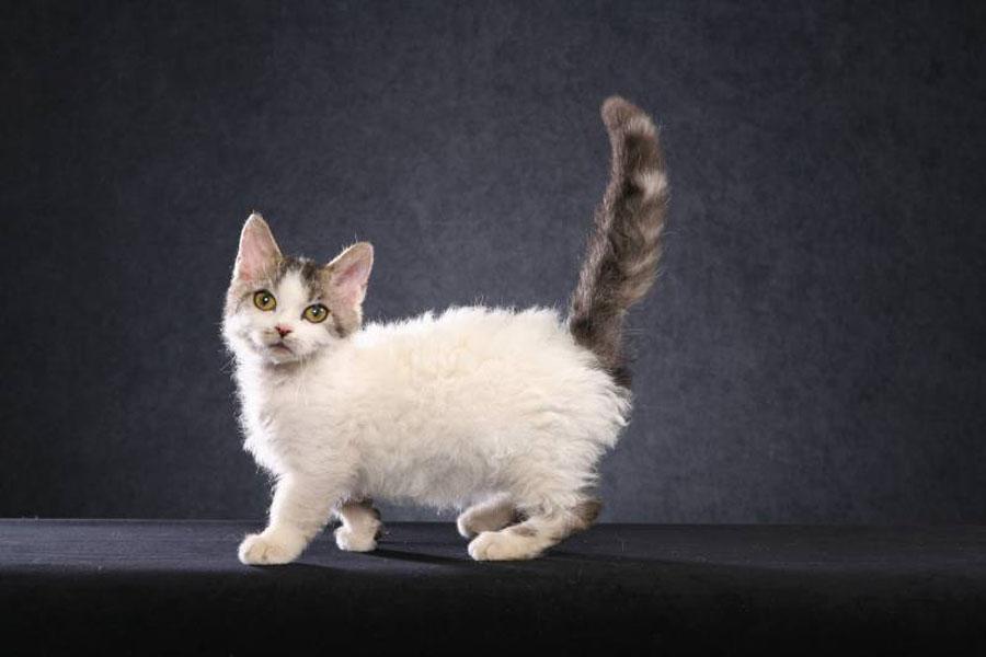 Порода кудрявых кошек: фото