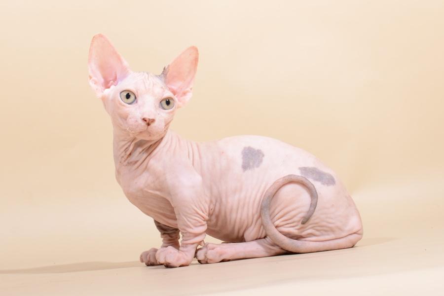 Купить кошек бамбино