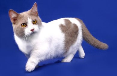 Купить кота породы манчкин