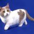 Где купить котёнка манчкина: питомники и цены
