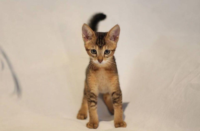 «Дорогие дети», или котята чаузи – фото, цена, уход