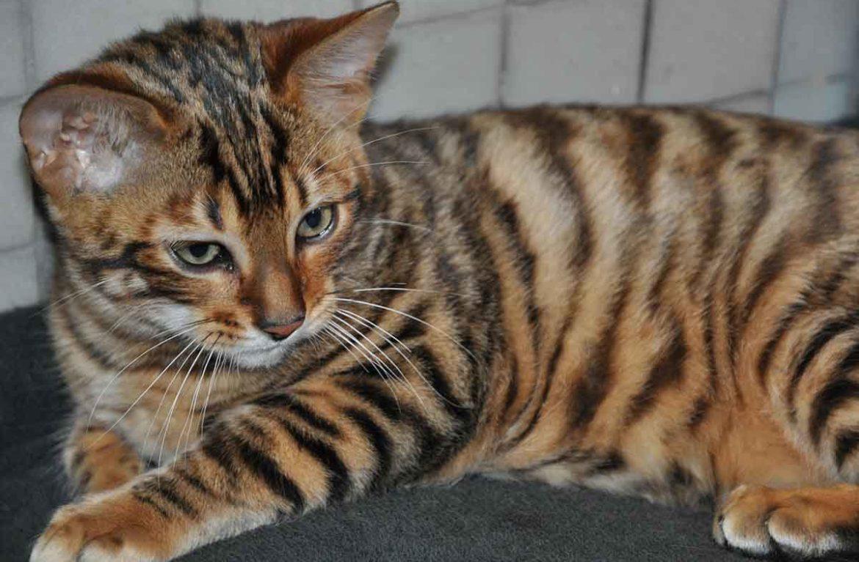 Купить котёнка тойгера: миссия выполнима