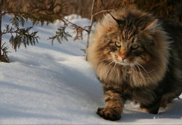Норвежская лесная: легенды про кошек