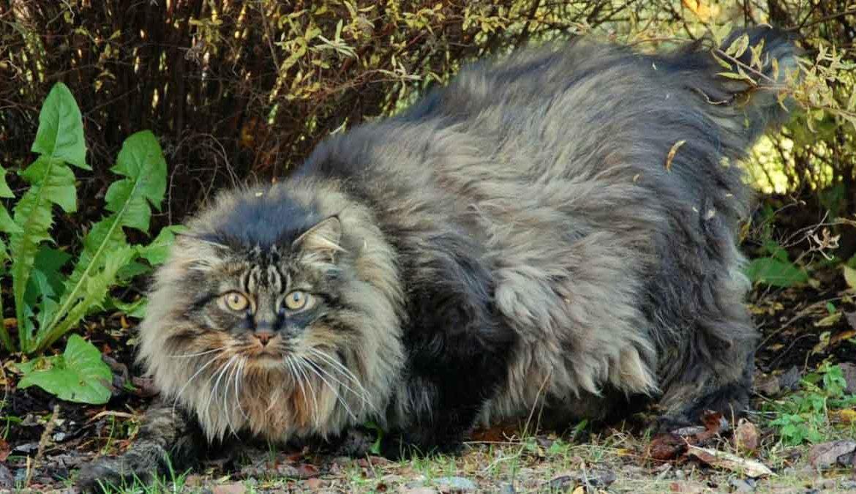 Легенды о кошках: норвежская лесная и не только