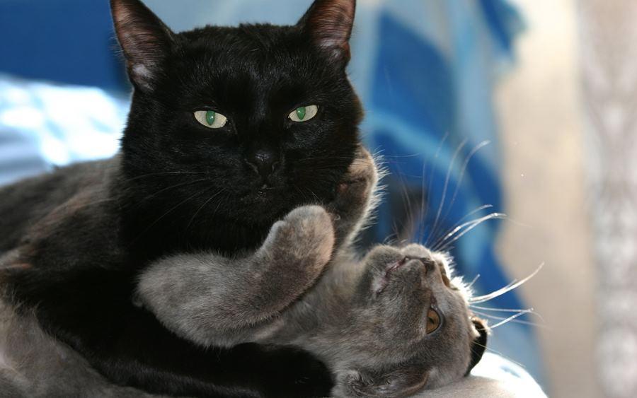 Картинки целующих котов