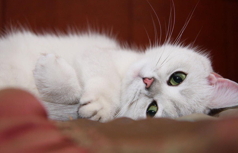 Маленькая белая кошка знает, что такое любовь…