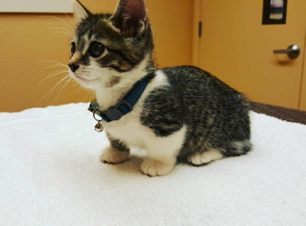 Кошка манчкин: фото