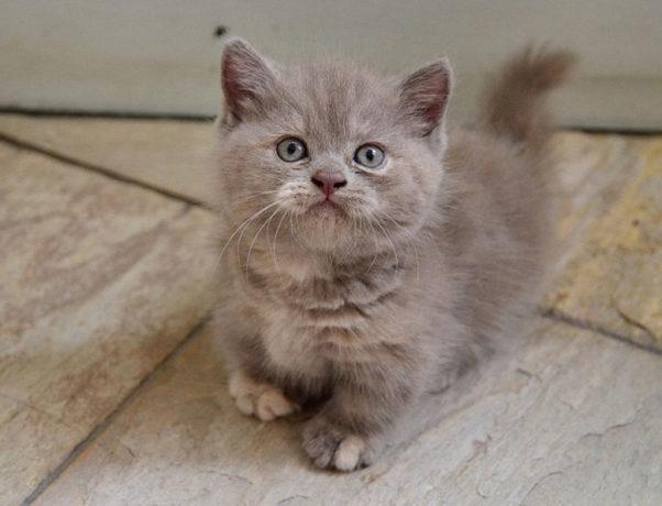 Котенок манчкин: фото