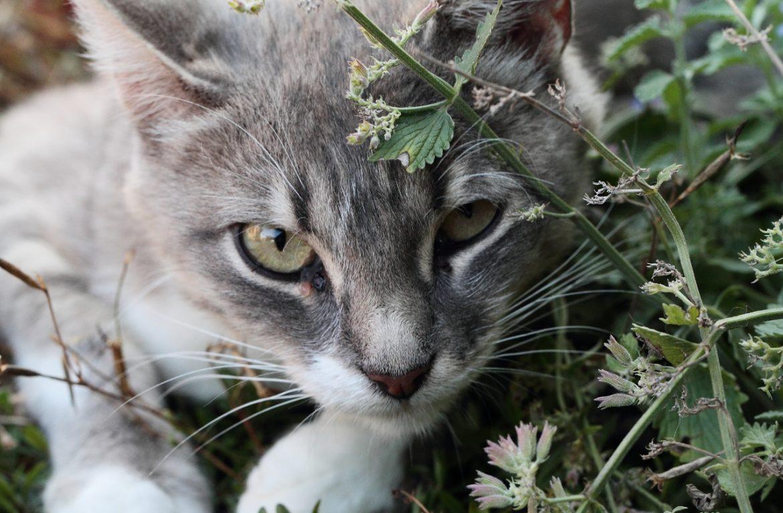 У нее целебный лист, он полезен и душист, или можно ли котам есть мяту?