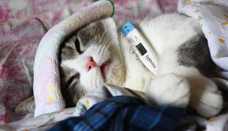 Могут ли заболеть гриппом кошки?