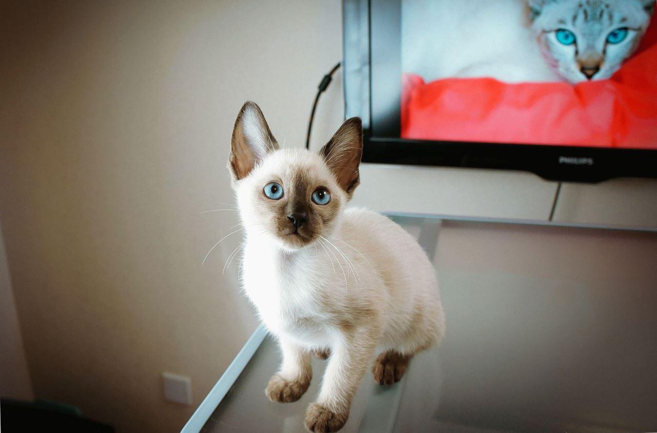 Недостатки тайских котов