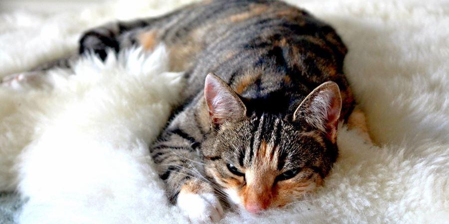 Несварение желудка у кошки