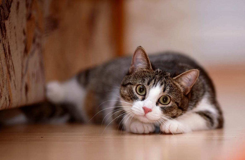 Как распознать невроз у кошек?