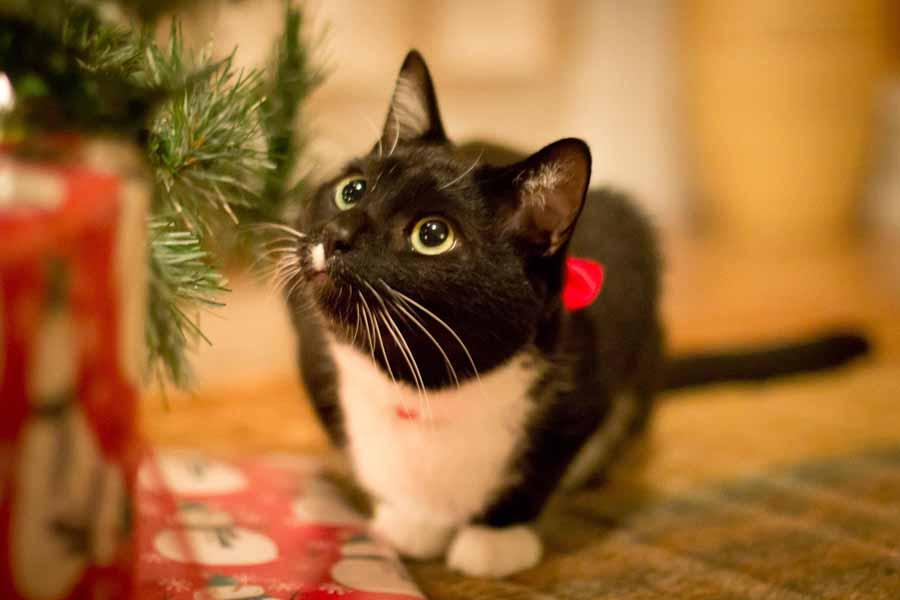 Новогодние болезни кошек