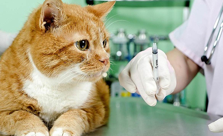 Вакцинация кошек: ответы на частые вопросы