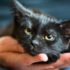 Передается ли лишай от кошек человеку?